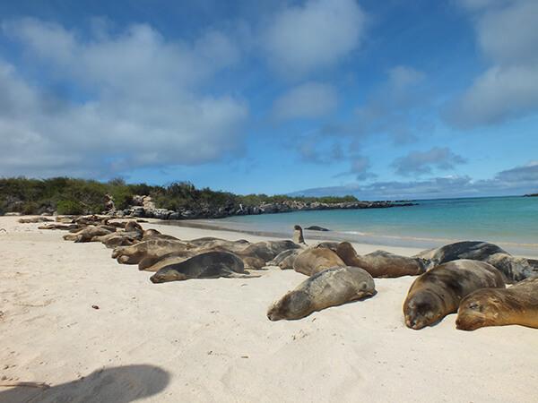 Sea Lions Galapagos Islands G Adventures Beach