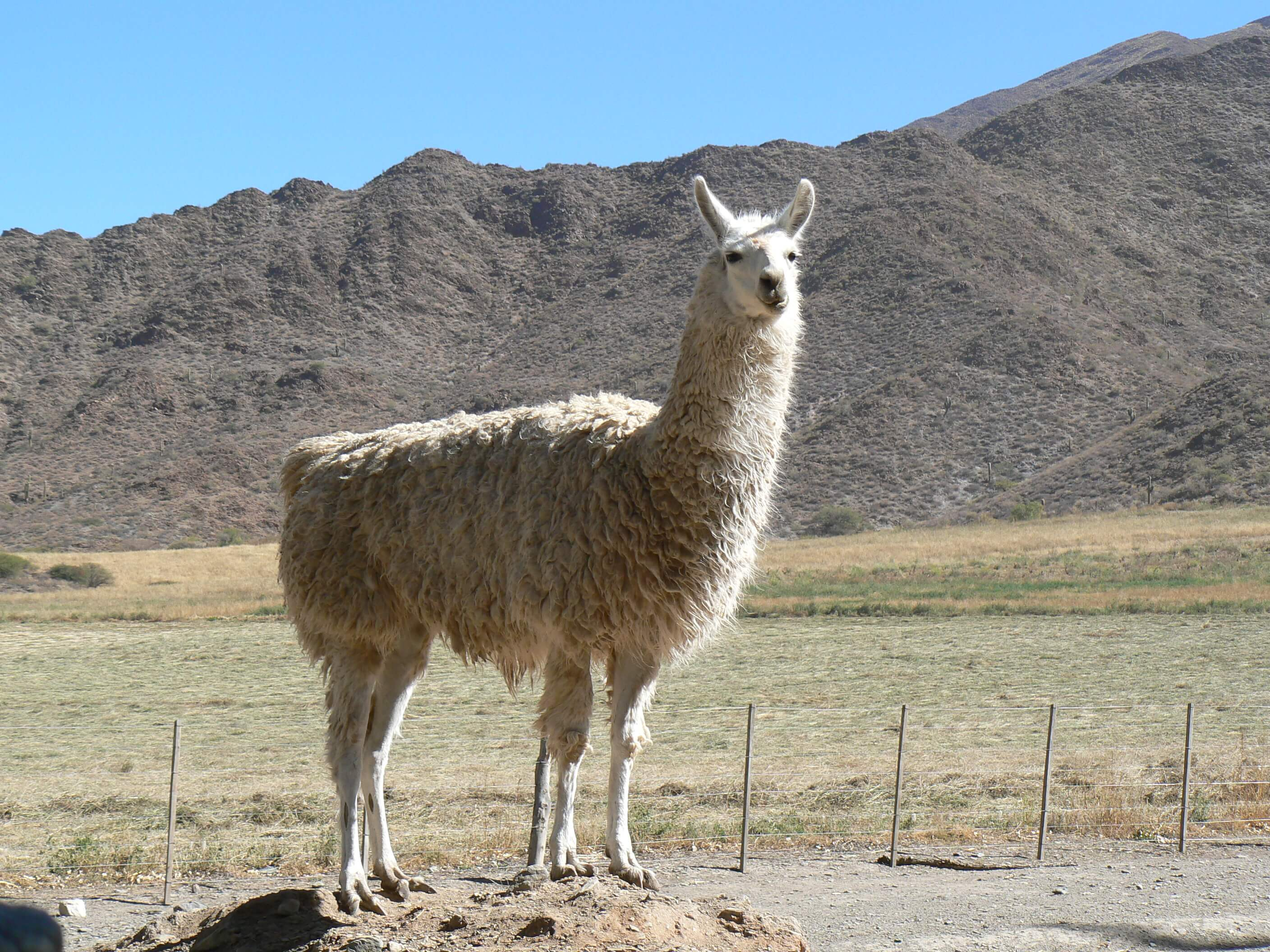 Lama by the road
