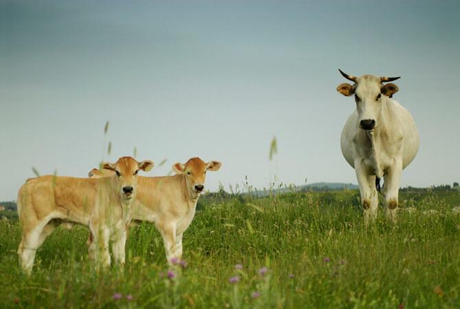 Chianina Beef Trend Tuscany Italy